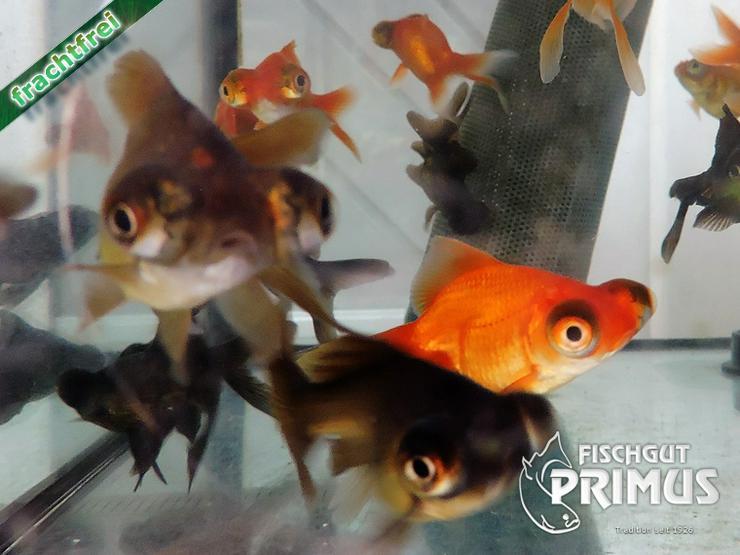 Bild 6: Profi Goldfischpaket Größe 5-12 cm