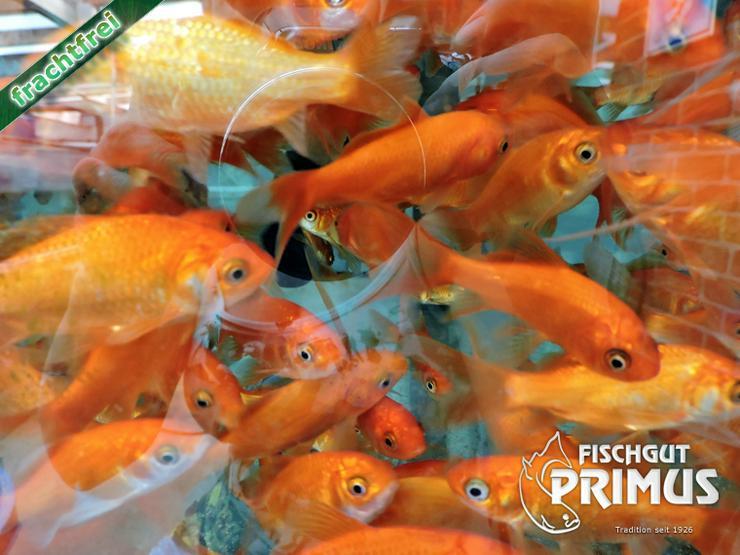 Bild 5: Profi Goldfischpaket Größe 5-12 cm
