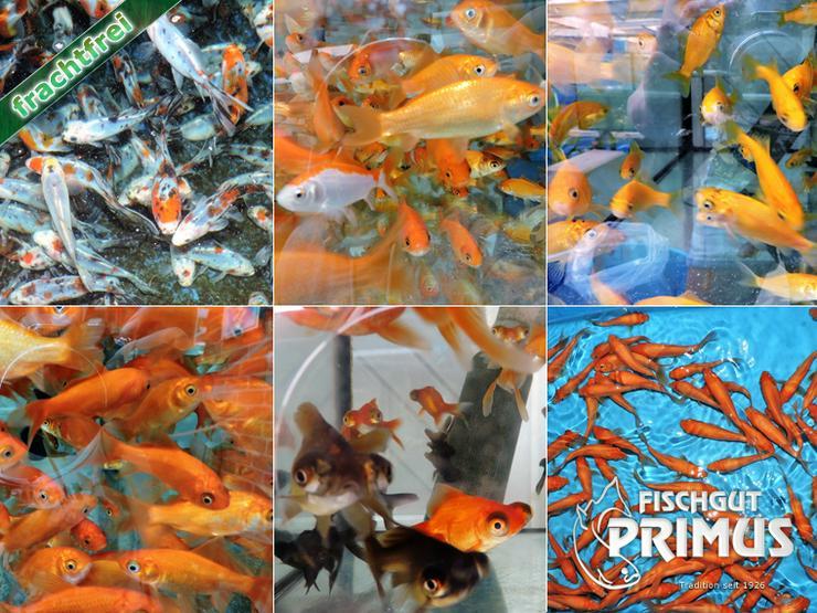 Profi Goldfischpaket Größe 5-12 cm - Fische - Bild 1