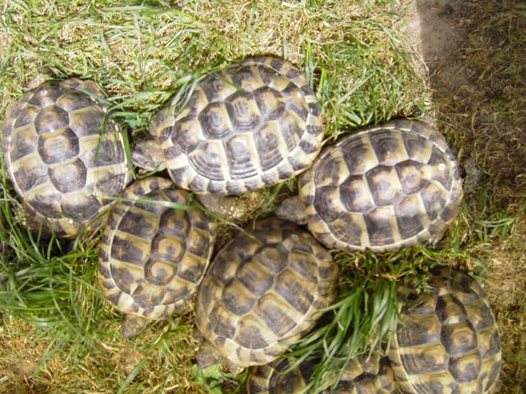 Griechische Landschildkröten eigene NZ