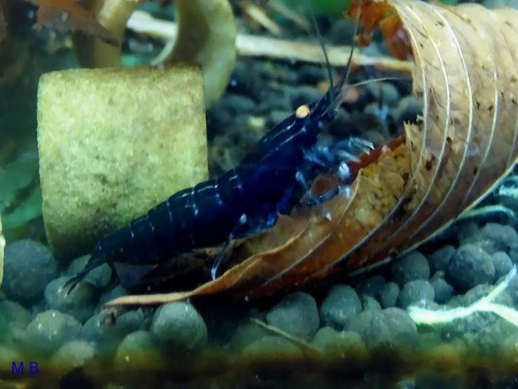 Garnelen Blaue Tigergarnelen - Deep Blue - Krebstiere - Bild 1