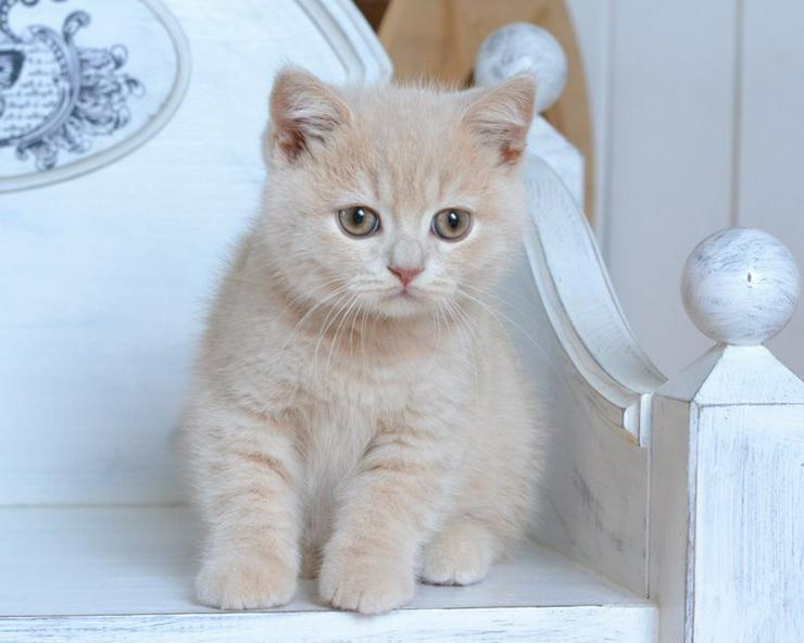 Reinrassige Britisch Katzenbabys mit Stammbaum