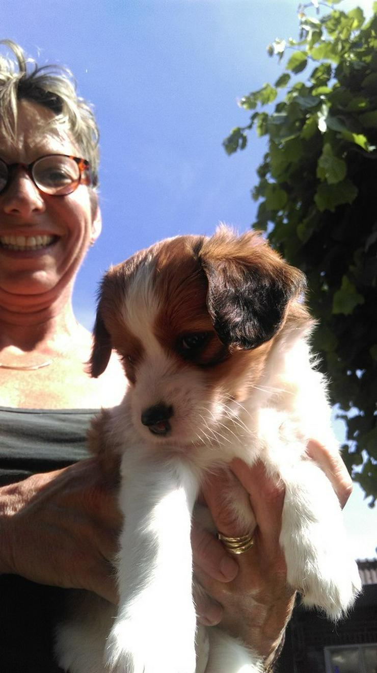 Kooiker welpen (87,5%) - Mischlingshunde - Bild 1