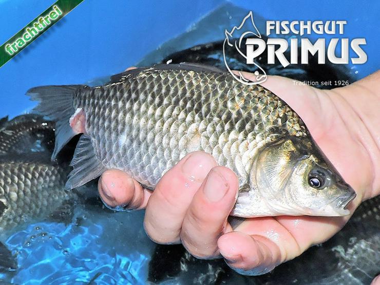 Besatzfische - 6 Giebel/Karauschen ca. 16-20 cm - Fische - Bild 1