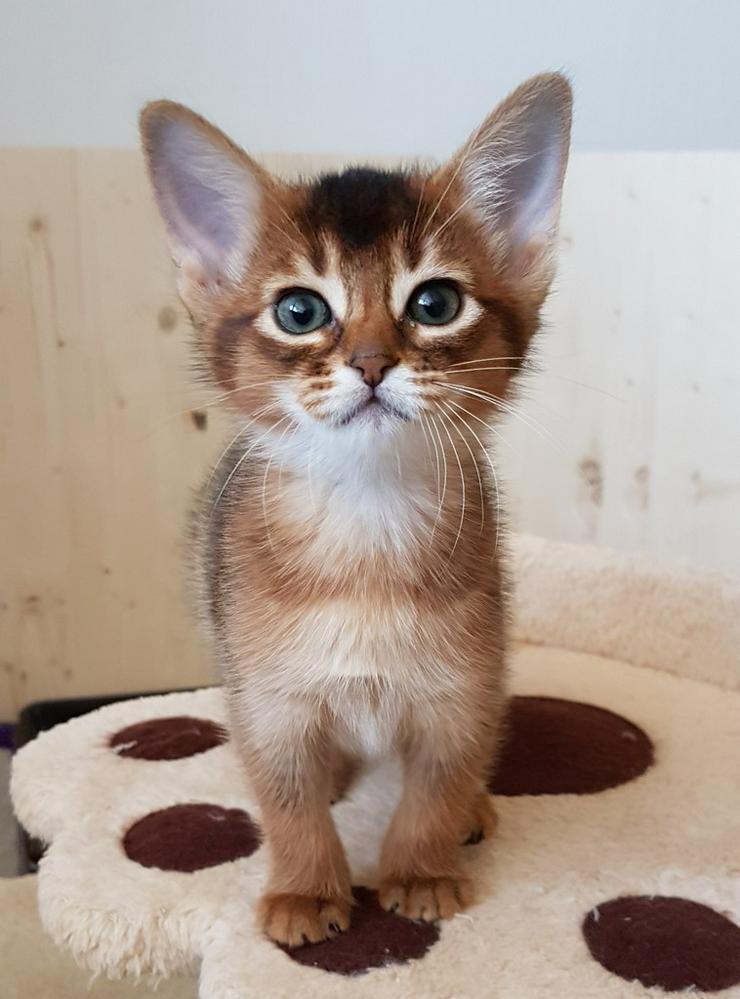 Bild 2: Eine kleine Somali Katze in kurzem Fell!