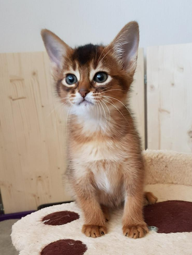 Bild 3: Eine kleine Somali Katze in kurzem Fell!