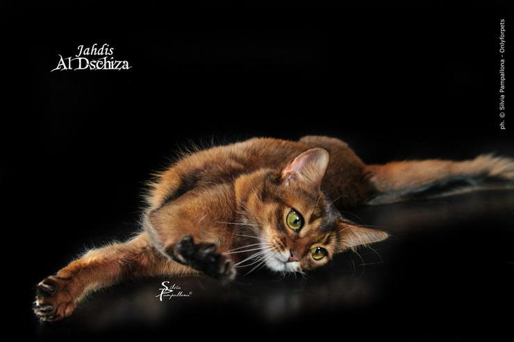 Bild 6: Eine kleine Somali Katze in kurzem Fell!