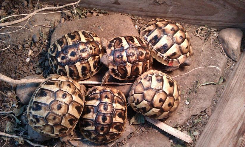 Bild 2: Griechische Landschildkröten (THH, NZ 2017)