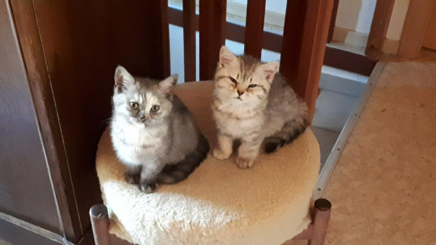 Aus Hobbyzucht 2 wunderschöne BKH-Kitten - Bild 1