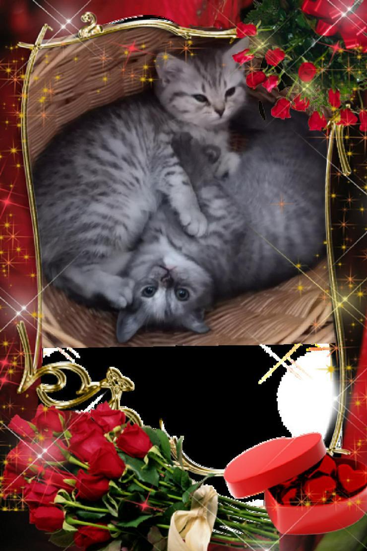 Bild 2: Aus Hobbyzucht 2 wunderschöne BKH-Kitten