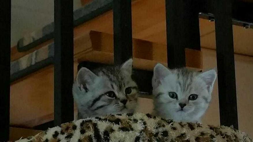 Bild 3: Aus Hobbyzucht 2 wunderschöne BKH-Kitten