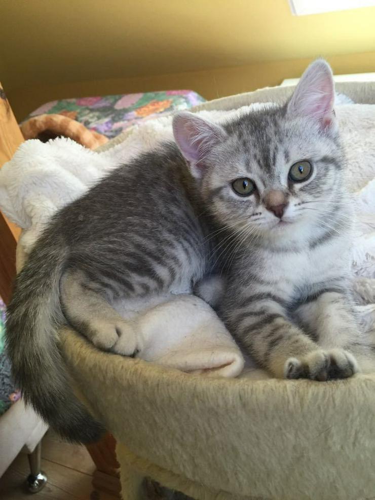 Bild 5: Aus Hobbyzucht 2 wunderschöne BKH-Kitten