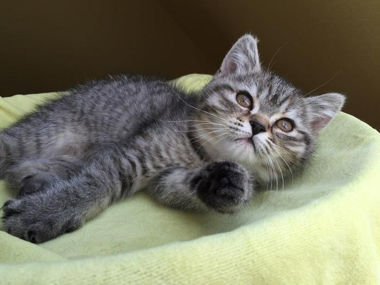 Bild 6: Aus Hobbyzucht 2 wunderschöne BKH-Kitten