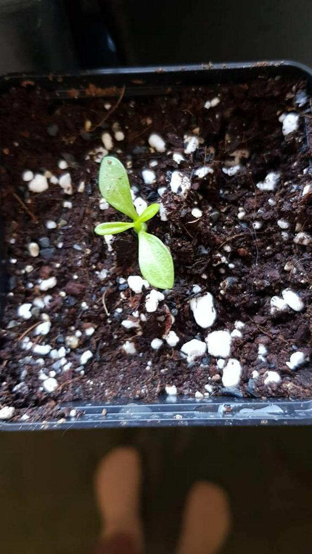 Bild 2: Wüstenrosen Pflanzen