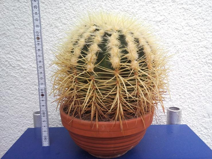 Kaktus / Kugelkaktus