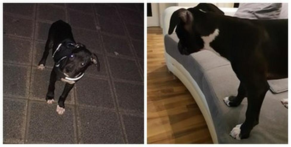 Alano-American Bulldog - Mischlingshunde - Bild 1