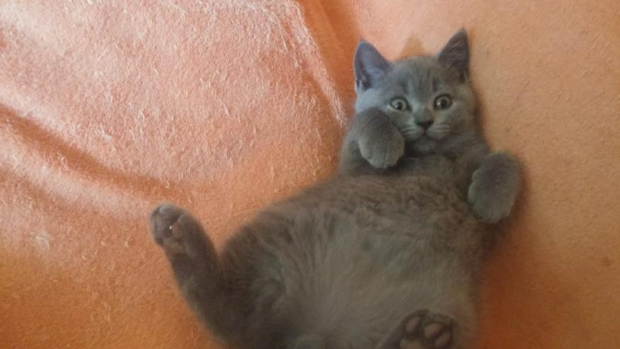 BKH Katzenbabys zu verkaufen