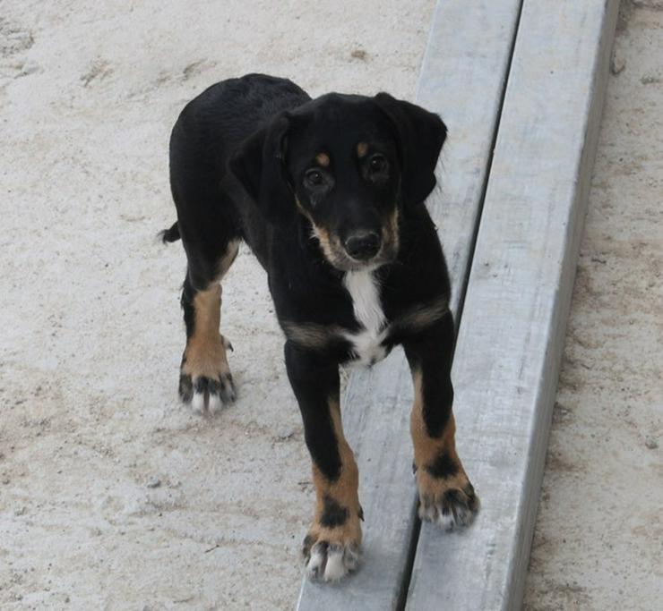 Bastian?Pfiffiger Hundejunge sucht Familie! - Mischlingshunde - Bild 1