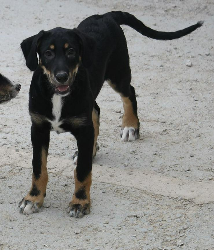 Bild 3: Bastian?Pfiffiger Hundejunge sucht Familie!
