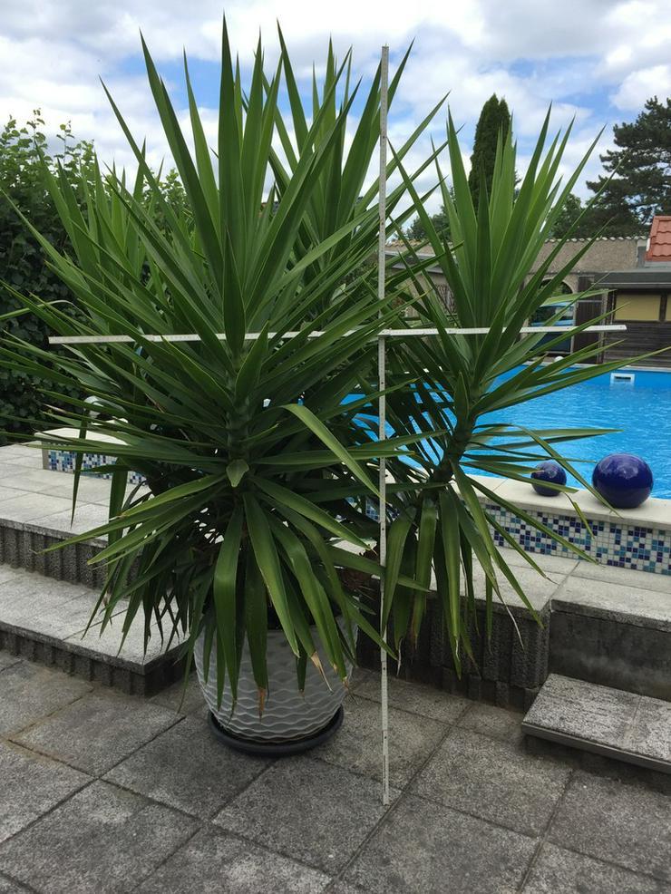 Bild 2: Yuccapalme