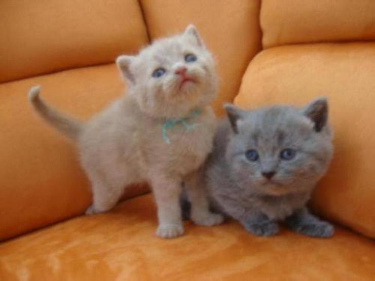 Reinrassige wunderschöne BKH Kitten suchen ei