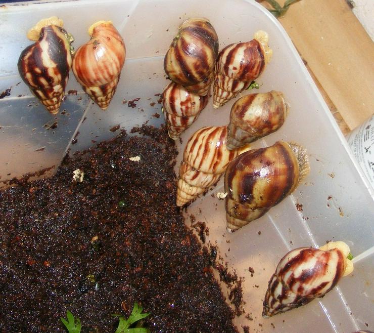 Riesenschnecke Arten Achatschnecken Westafrika - Muscheln & Schnecken - Bild 1