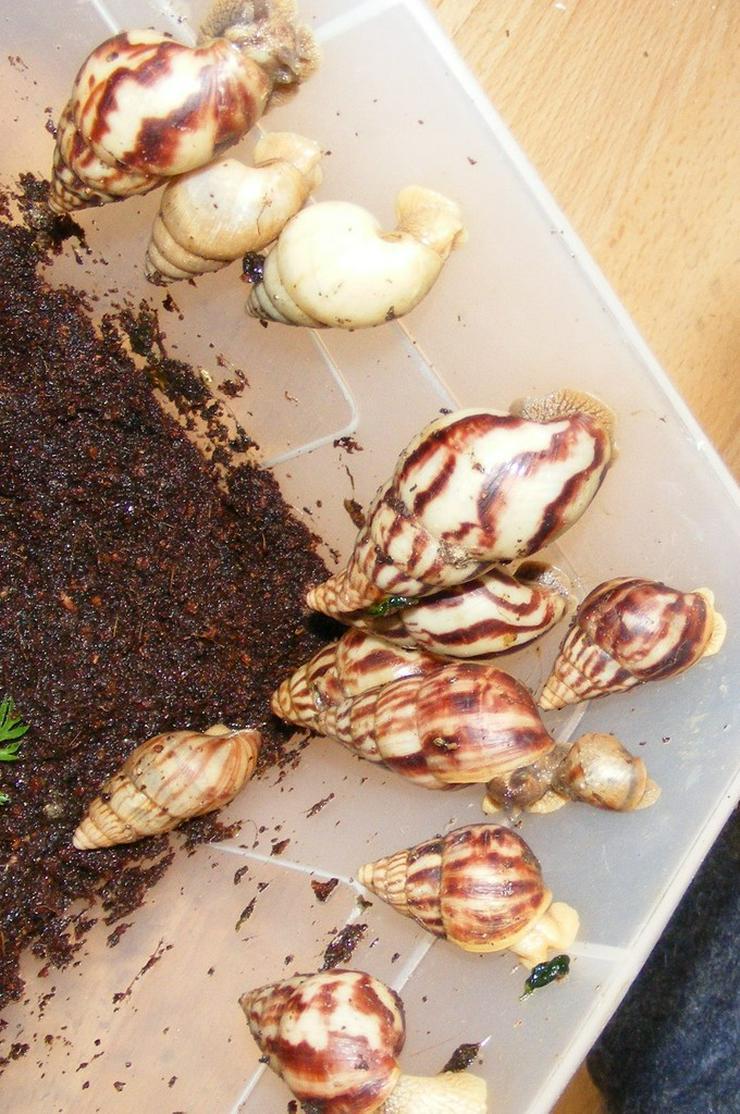 Bild 2: Riesenschnecke Arten Achatschnecken Westafrika