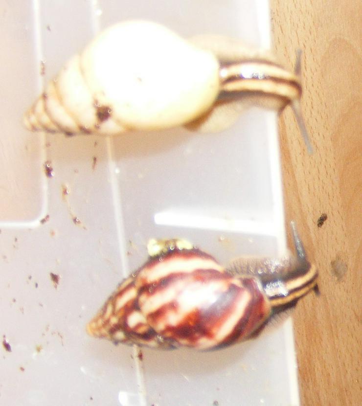 Bild 3: Riesenschnecke Arten Achatschnecken Westafrika