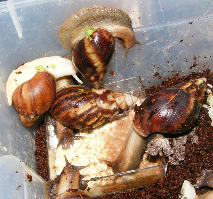 Bild 5: Riesenschnecke Arten Achatschnecken Westafrika