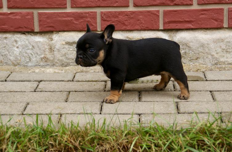 Franz. Bulldoggen: Black-Tan, Black-Pied, Sable