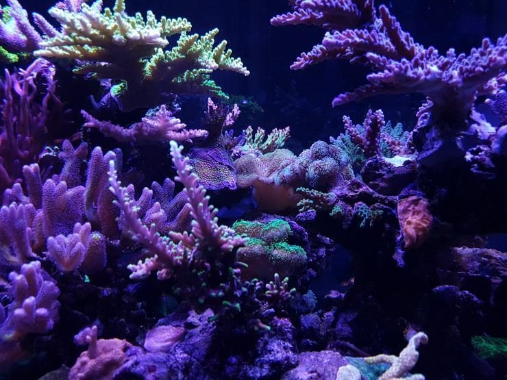 Bild 3: SPS/LPS Korallen - Acropora, Montipora  - 85051