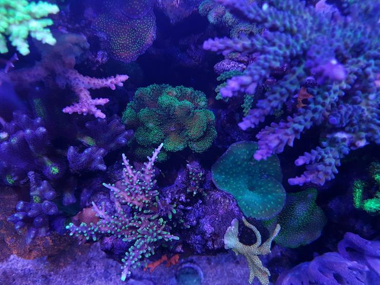 Bild 5: SPS/LPS Korallen - Acropora, Montipora  - 85051