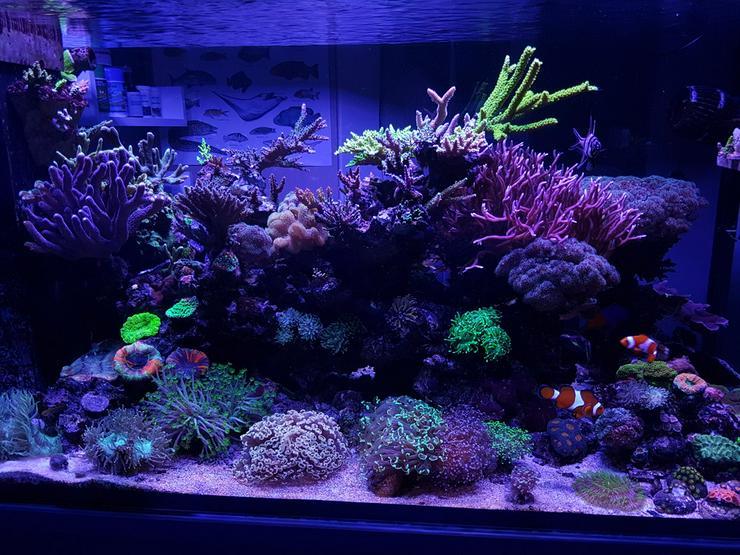 SPS/LPS Korallen - Acropora, Montipora  - 85051 - Korallen & Anemonen - Bild 1