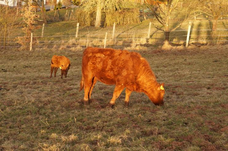 Angus-Rindfleisch aus artgerechter Haltung