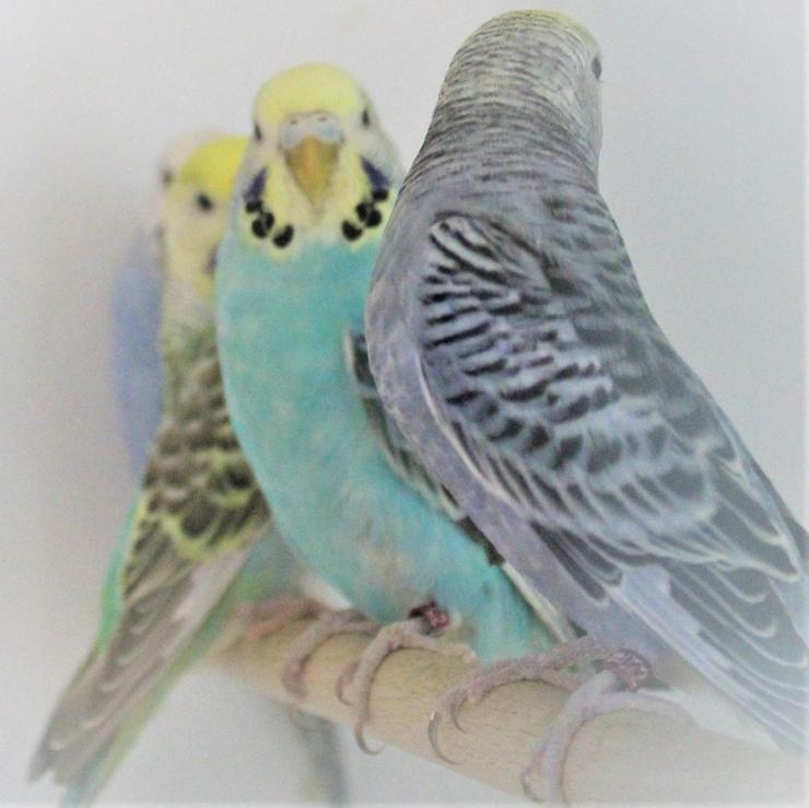 Bild 4: Verkaufe junge Wellensittiche 2-6 Monate alt