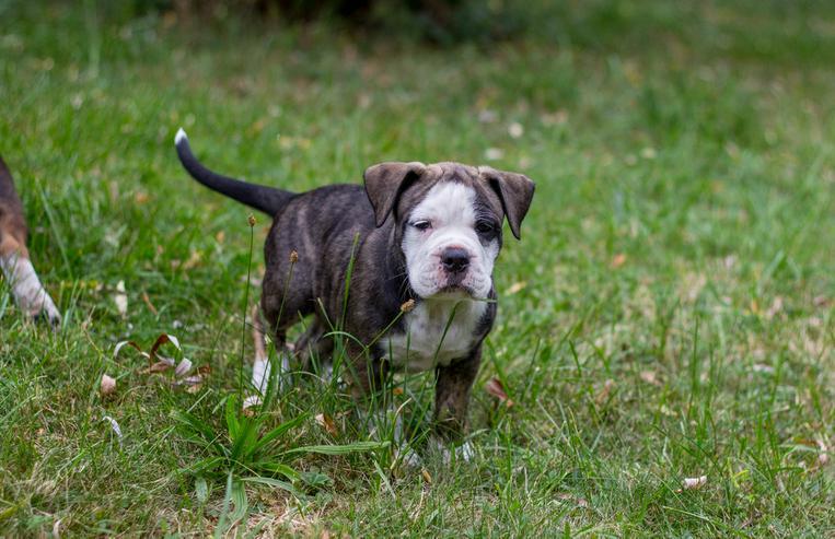 Bild 6: Da Capo Bulldog,Bulldog,