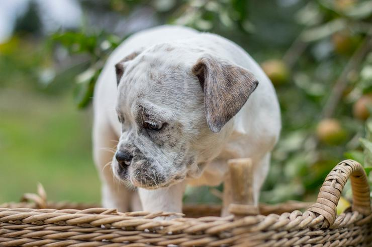Bild 4: Da Capo Bulldog,Bulldog,