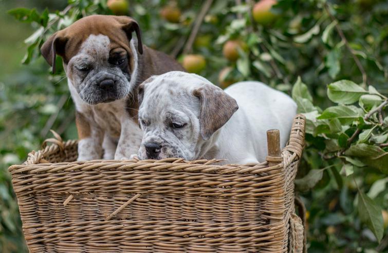 Bild 2: Da Capo Bulldog,Bulldog,