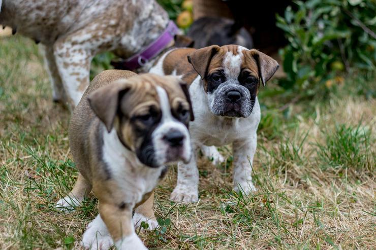 Da Capo Bulldog,Bulldog, - Rassehunde - Bild 1