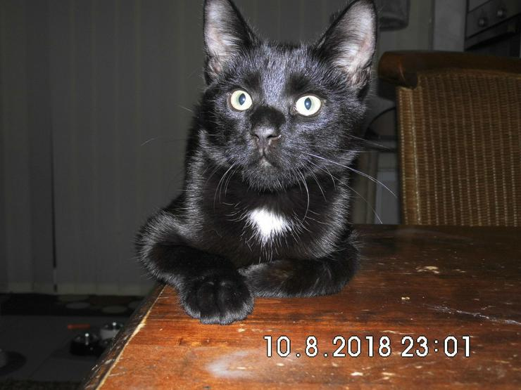 Maine-Coone-Mix - Mischlingskatzen - Bild 1
