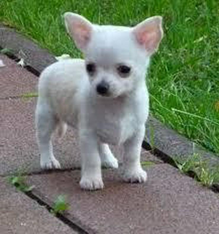 Chihuahua 1 Mädels & 2 Buben Kurzhaar - Rassehunde - Bild 1