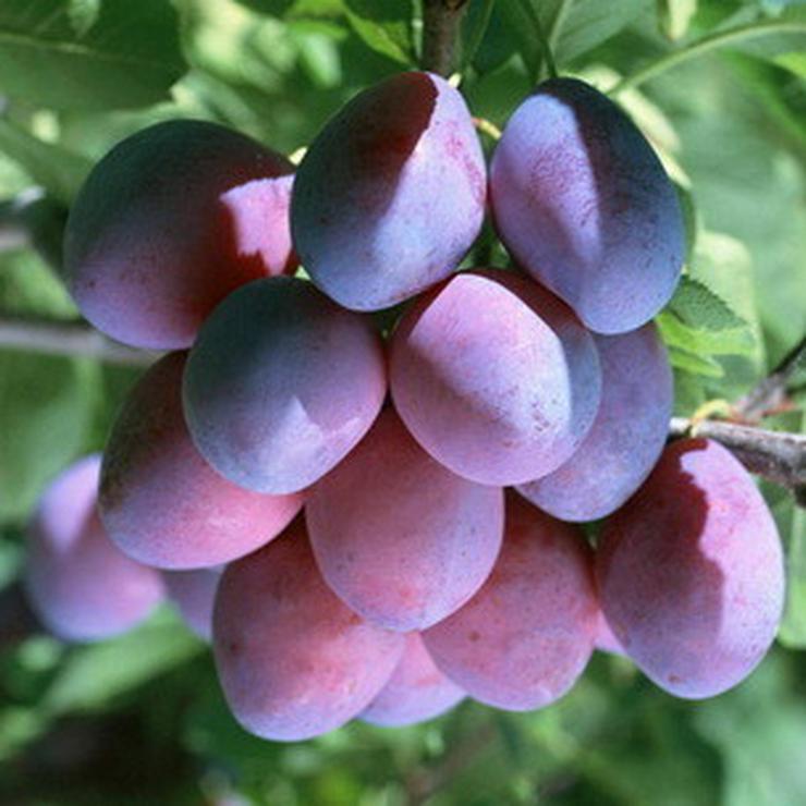 Bild 1: Apfel Aprikose Pfirsich Zwetschge Birne Kirsche