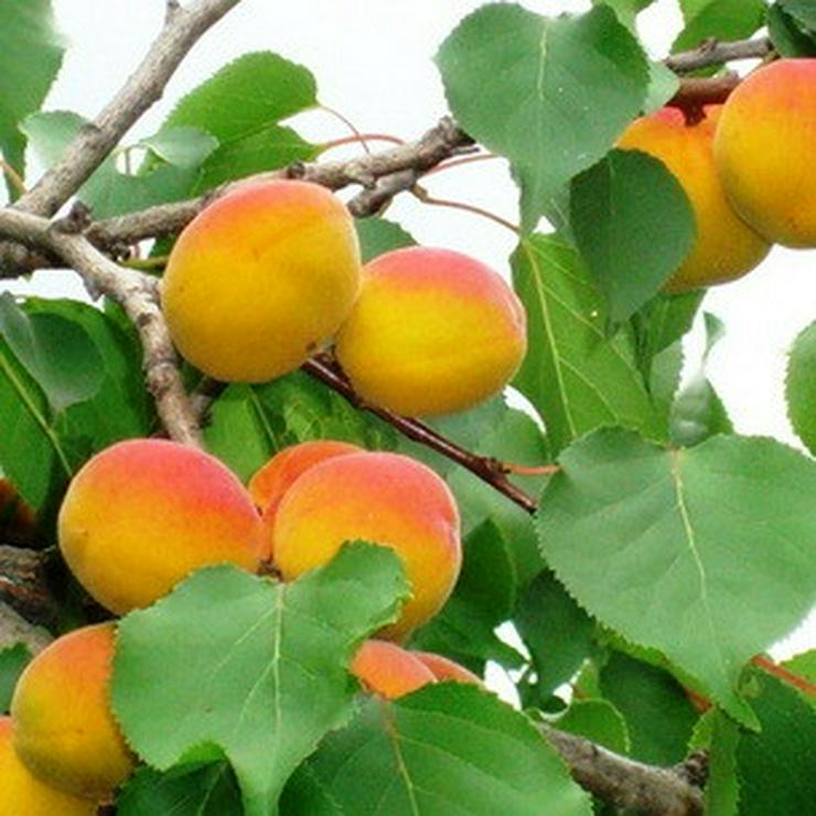 Bild 11: Apfel Aprikose Pfirsich Zwetschge Birne Kirsche