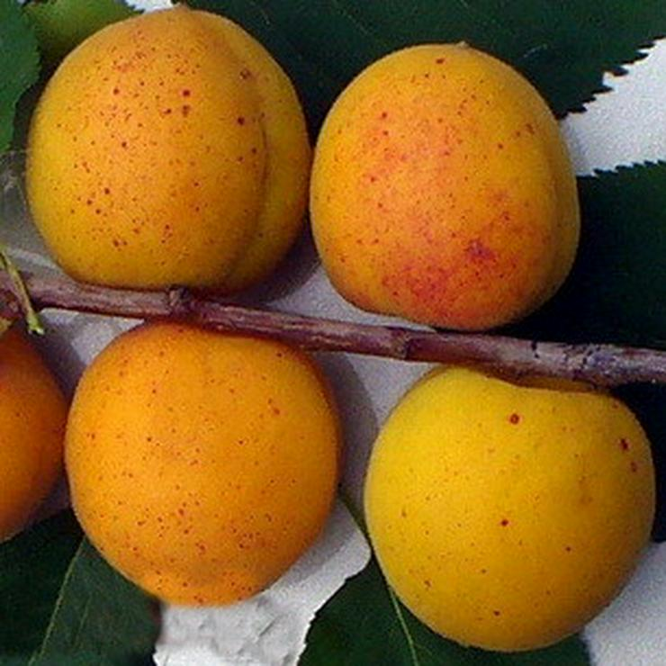 Bild 12: Apfel Aprikose Pfirsich Zwetschge Birne Kirsche