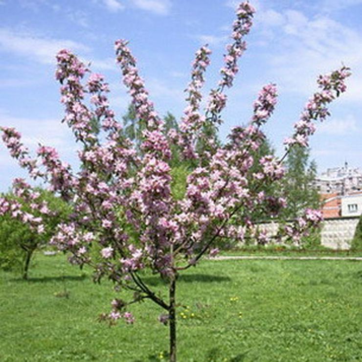 Bild 14: Apfel Aprikose Pfirsich Zwetschge Birne Kirsche