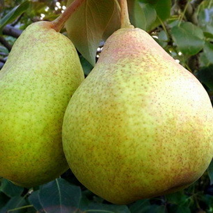Bild 16: Apfel Aprikose Pfirsich Zwetschge Birne Kirsche