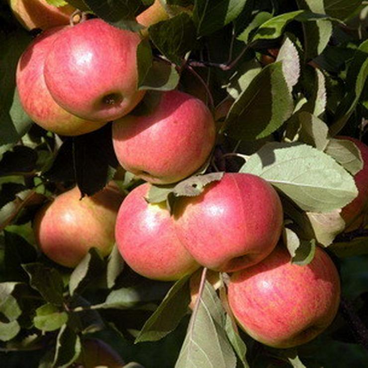 Bild 17: Apfel Aprikose Pfirsich Zwetschge Birne Kirsche