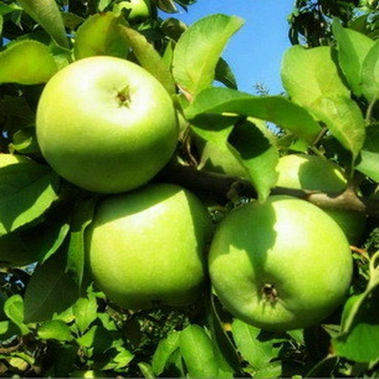 Bild 18: Apfel Aprikose Pfirsich Zwetschge Birne Kirsche