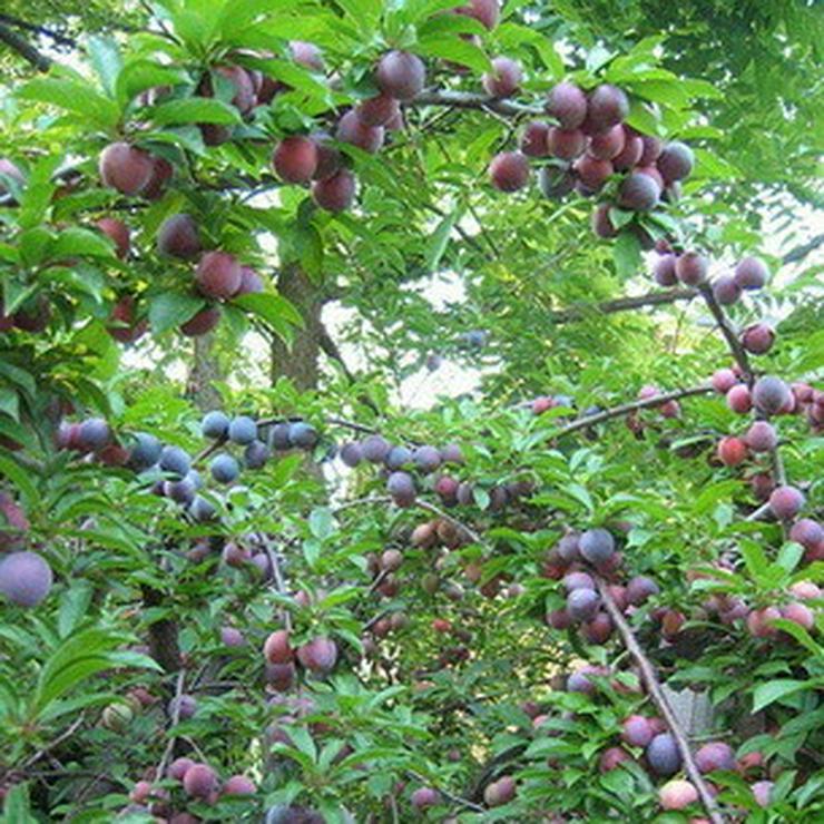 Bild 3: Apfel Aprikose Pfirsich Zwetschge Birne Kirsche