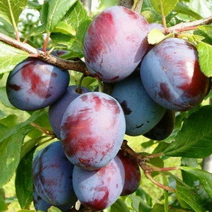 Bild 4: Apfel Aprikose Pfirsich Zwetschge Birne Kirsche